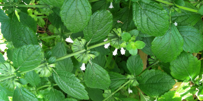 Lemon balm herbs for pregnancy and breastfeeding health RootMama