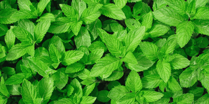 Peppermint herbs for pregnancy and breastfeeding health RootMama
